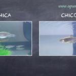 peces cebra macho y hembra