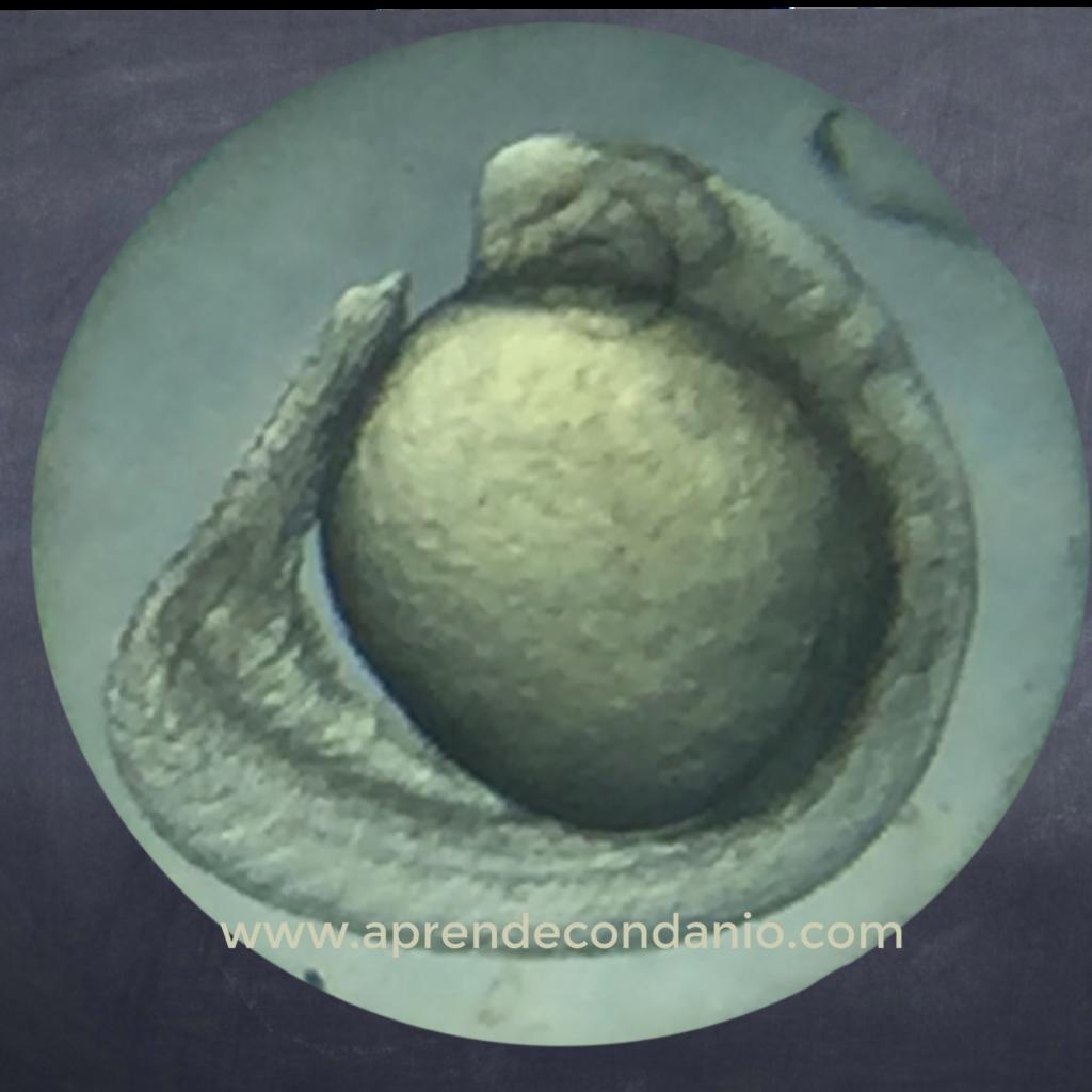 Foto de embrión de pez cebra. Segmentación