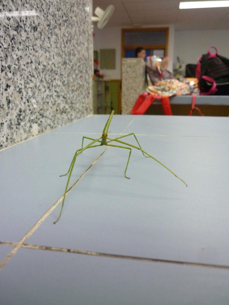 insecto palo dibujo